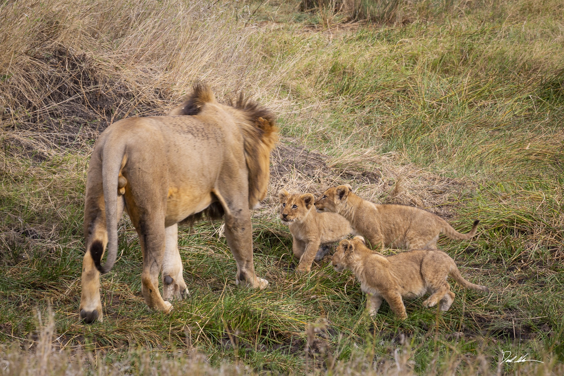 Lion cubs in Tanzania