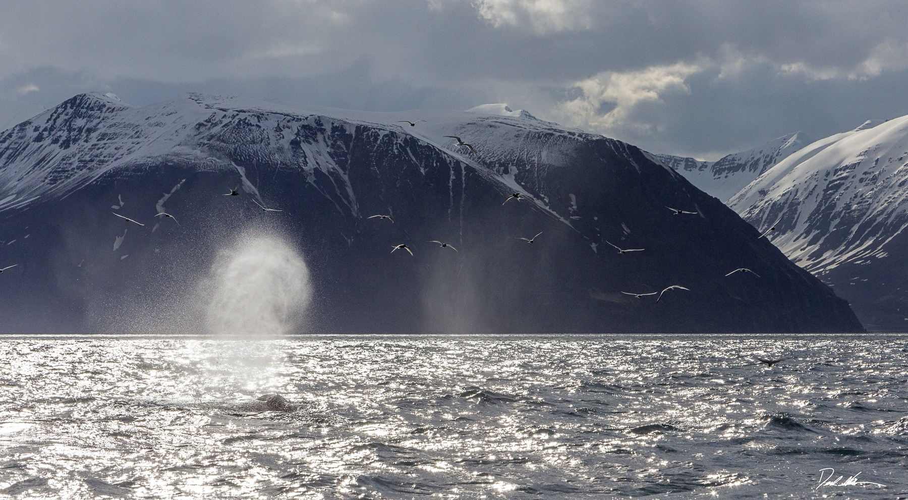 Whales breaching in Iceland