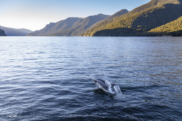 Dolphin in New Zealand at sunset