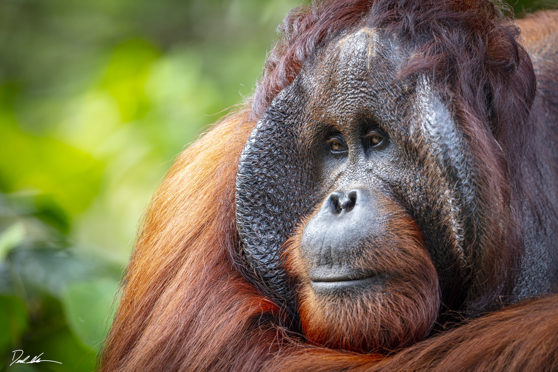 Orangutan in Borneo, jungle