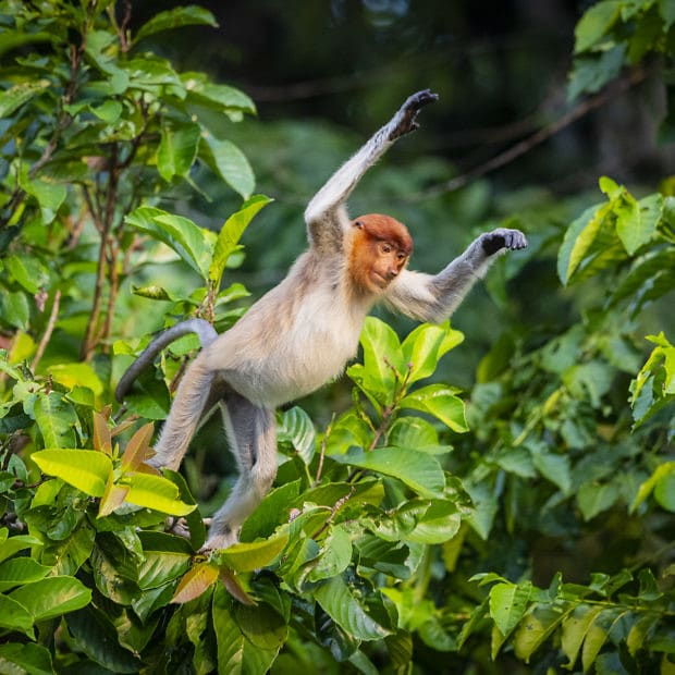 Monkey jumping in Borneo jungle