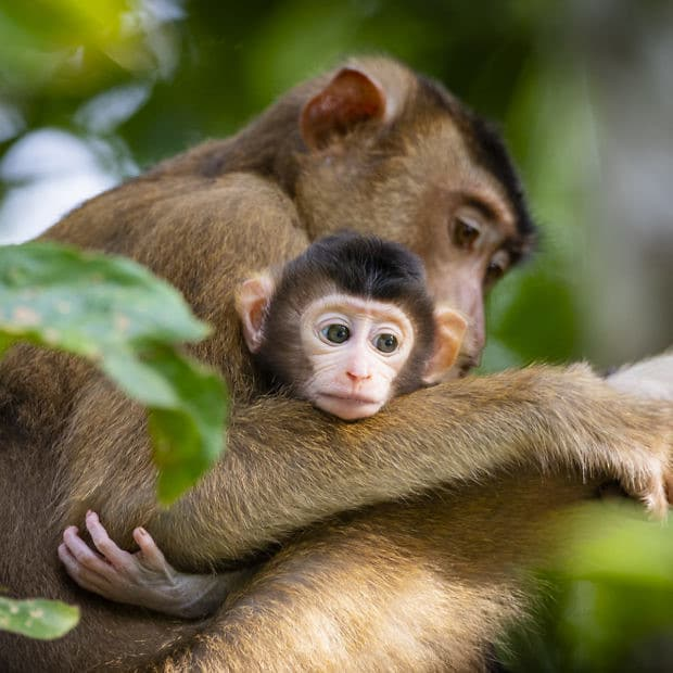Mother and Baby monkey in Borneo