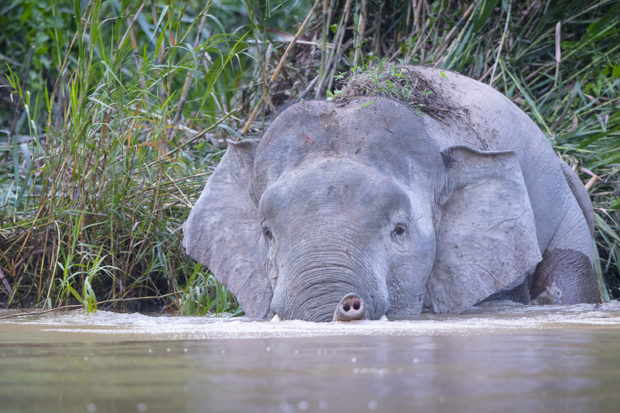 Elephant submerging in river