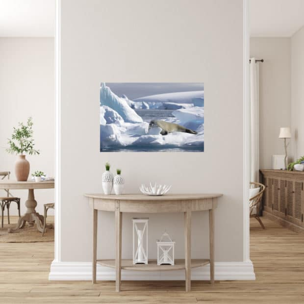 Photo of seal resting on ice in Antarctica displayed in hallway of stylish modern home