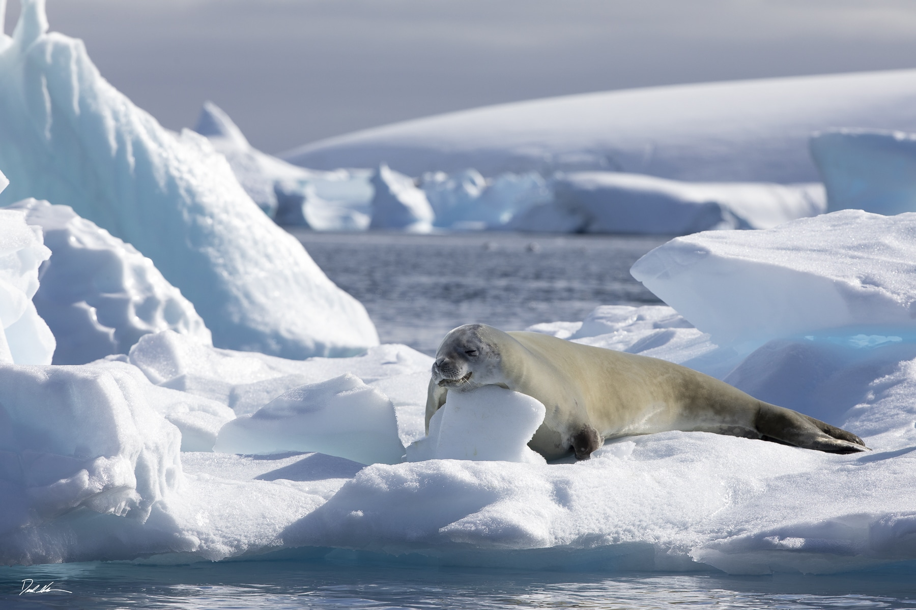A Seal on ice