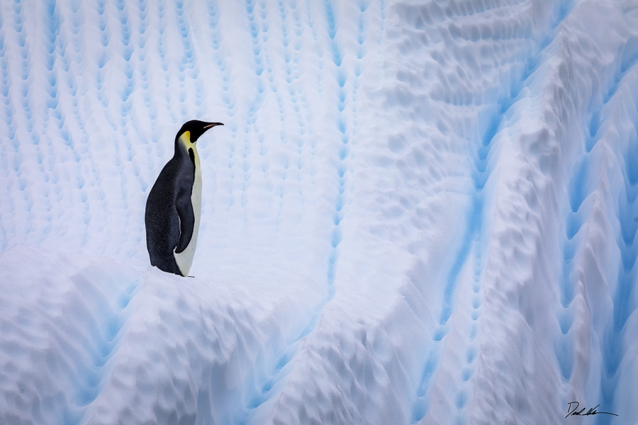 Emperor Penguin on ice