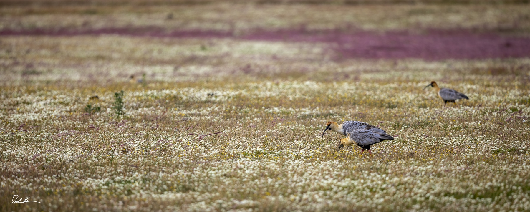 birds feeding in Patagonia field