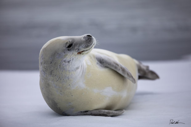 crabeatter seal on ice in Antartica