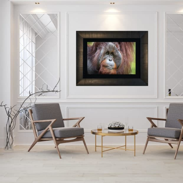framed fine art print of large male orangutan displayed in modern stylish luxury home