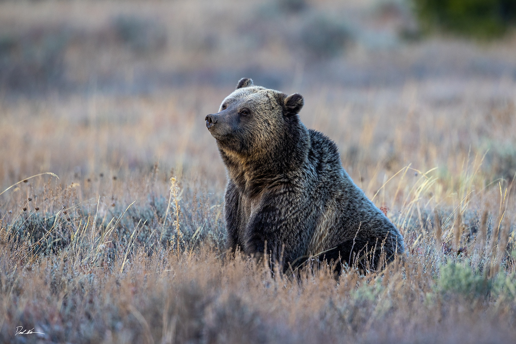 Large grizzly bear sitting in a field