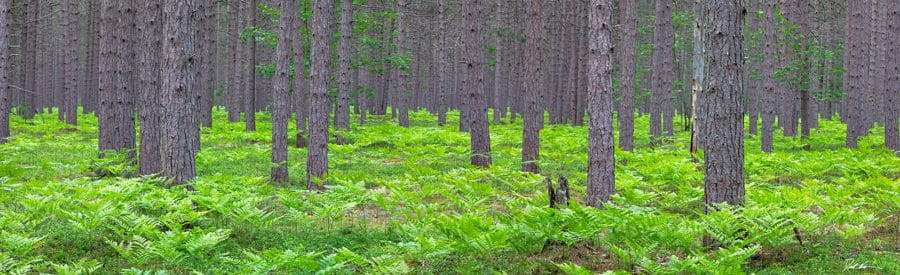 Large panoramic image of forest in Michigan with deep green colors amongst the pine trees