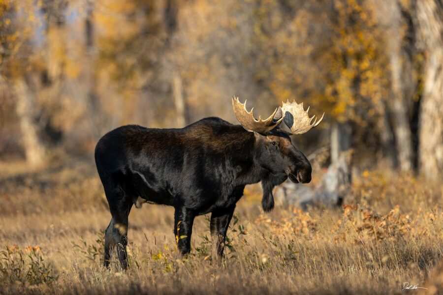 Large male moose in forest surround by fall colors