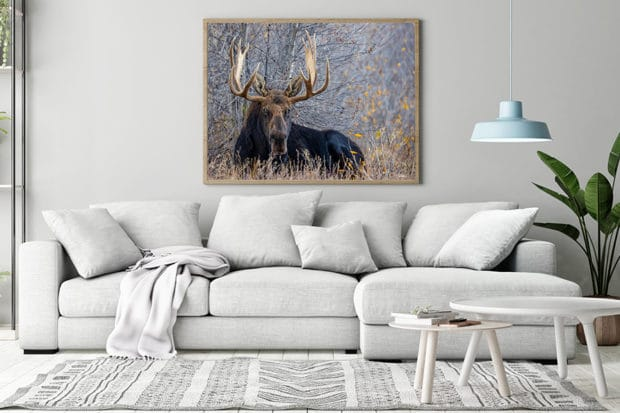 framed image of large moose laying down in tall brush