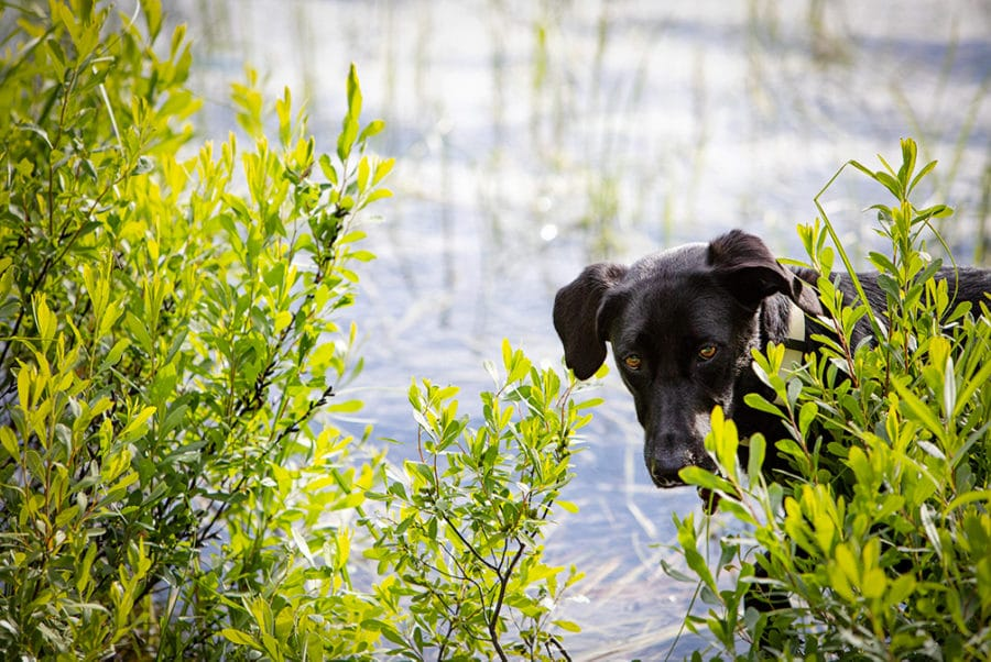 Photograph of a black dog playing in a lake