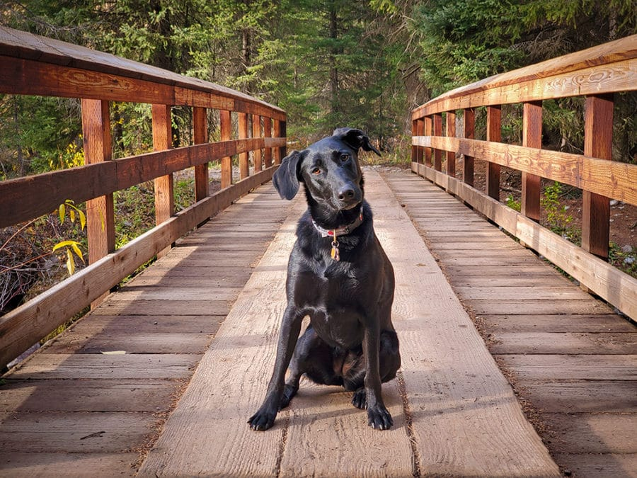Photograph of black dog sitting on a bridge in the forest