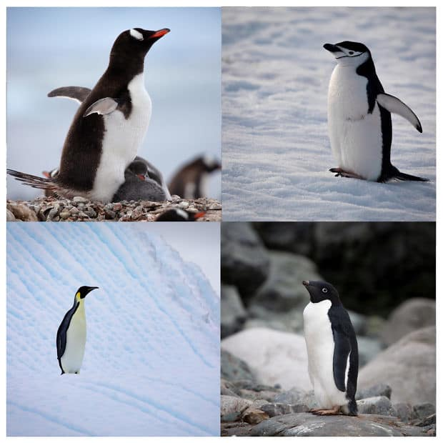 four images of penguins displayed in a grid
