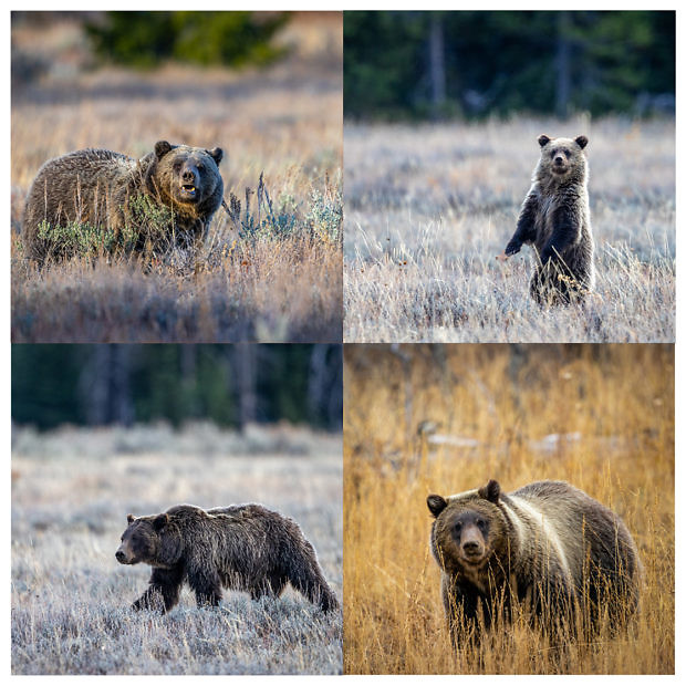 A four pack of bear images