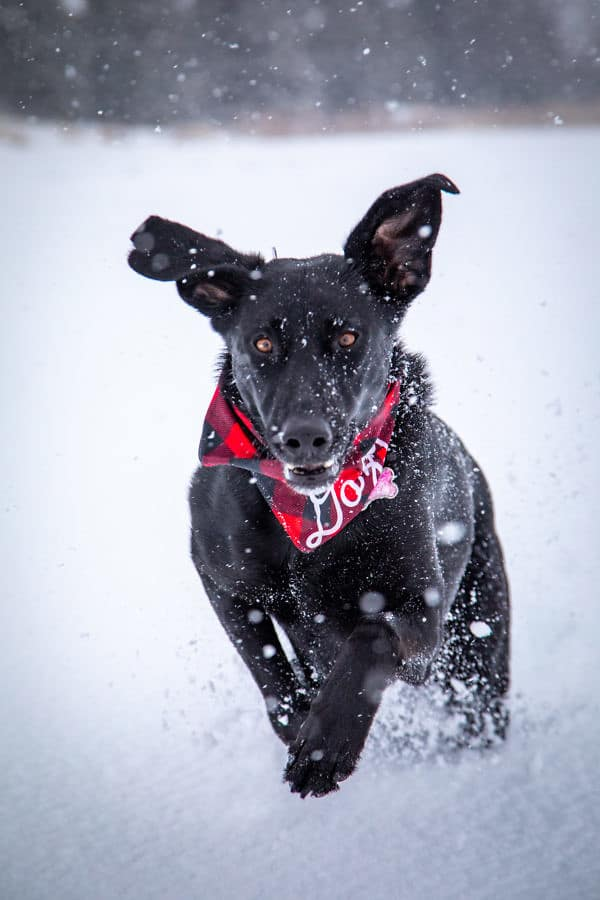 photo of a dog happily running through a snow covered field