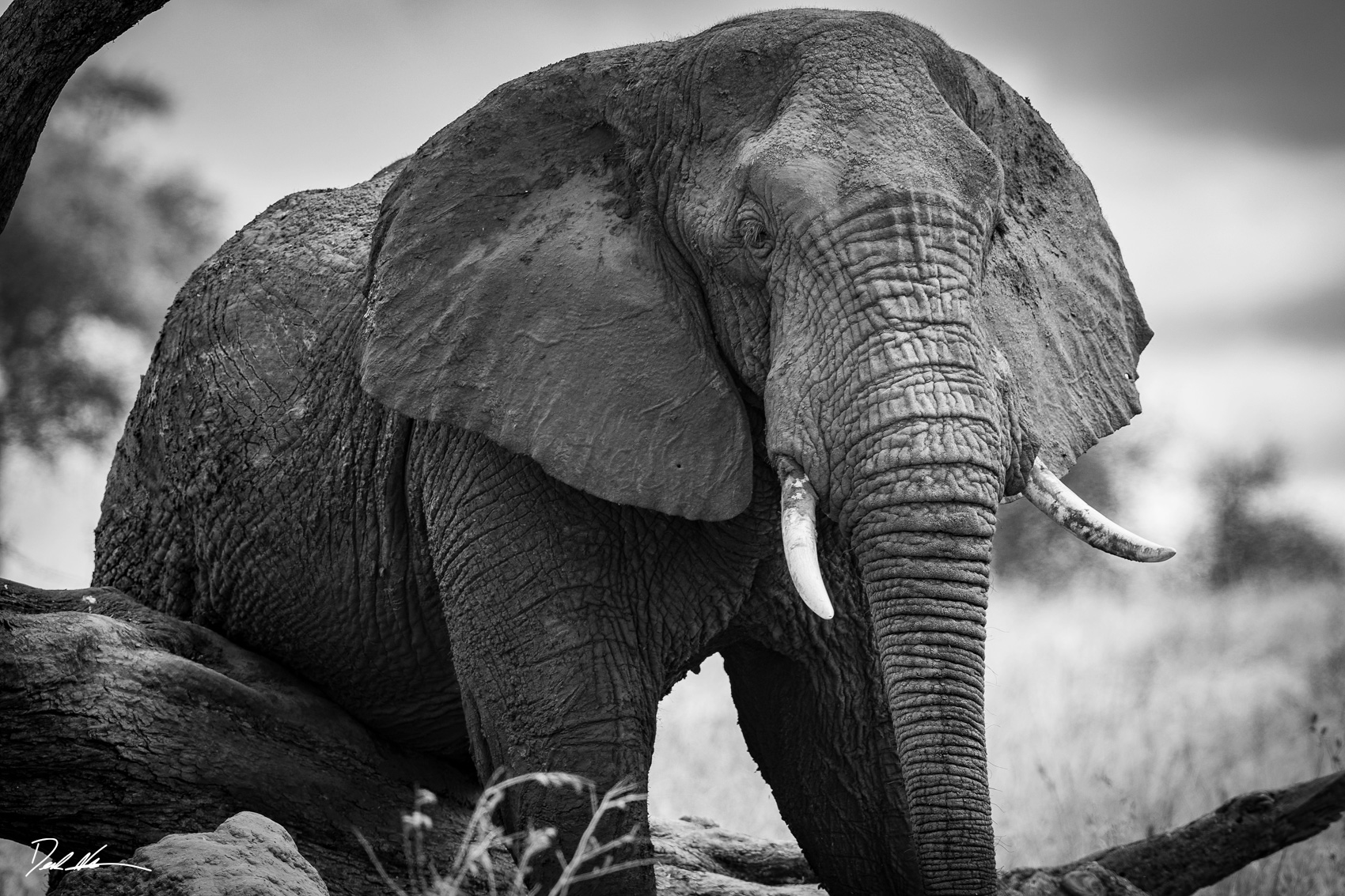 Black and white photo of large bull elephant in Tanzania climbing over a fallen branch