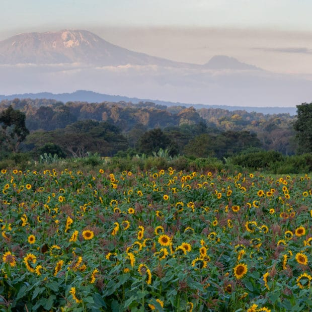 panoramic photo of mount Kilimanjaro at sunset with a sunflower field