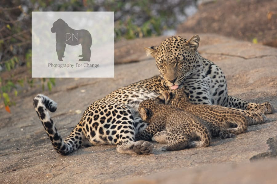 photo of female leopard cleaning her cubs while they nurse