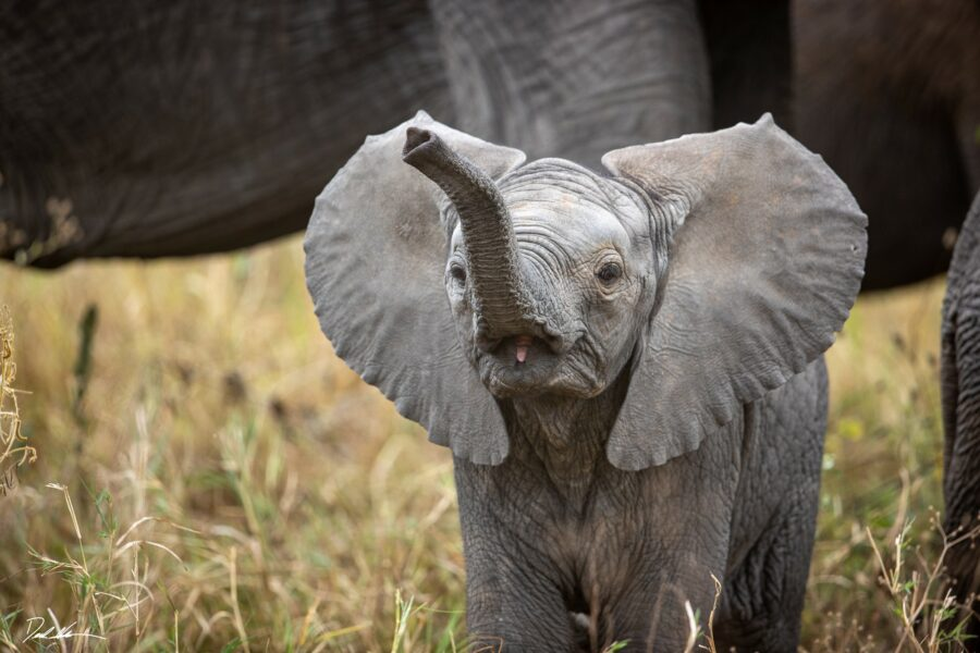 photograph of baby elephant raising its trunk making an adorable noise.